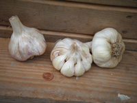 inchelium_garlic